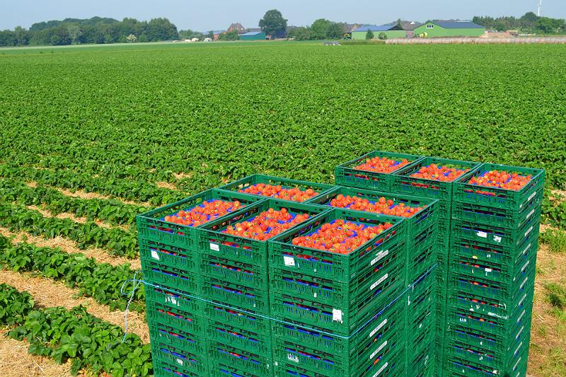 Erdbeere Anbau